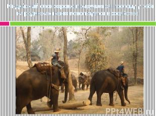 Индийский слон хорошо приручается, поэтому у себя на родине активно используется