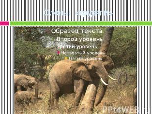 Слоны «трудяги»