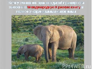 Хотя у слонов нет врагов в дикой природе, они занесены в Международную Красную к