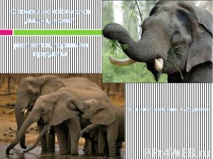 С помощью хобота слон дышит, нюхает, рвет ветки, поднимает предметы,а также пьет