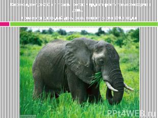 Слон съедает до 250 кг травы, веток и другого растительного корма в день. Кроме