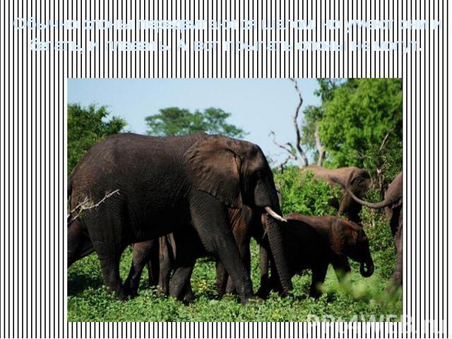 Обычно слоны передвигаются шагом, но умеют они и бегать, и плавать. А вот прыгать слоны не могут.