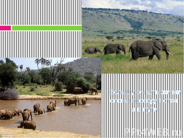 Большую часть жизни слоны проводят стоя и в пути