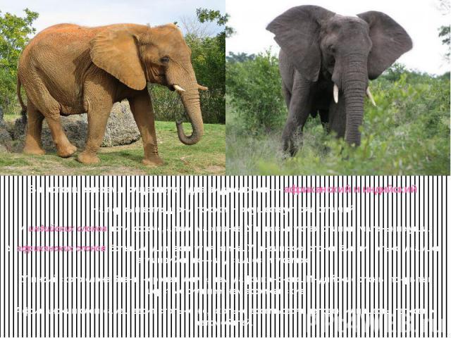 В настоящее время существуют два вида слонов — африканский и индийский. На первый взгляд, они похожи. Но существует ряд отличий. У индийских слонов ноги короче, а тело массивнее. У них выпуклая спина и маленькие уши. У африканских слонов большие уши…