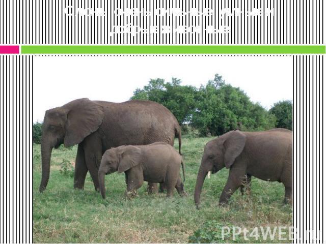 Слоны очень сильные, умные и добрые животные.