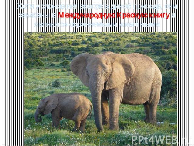 Хотя у слонов нет врагов в дикой природе, они занесены в Международную Красную книгу и являются охраняемыми животными