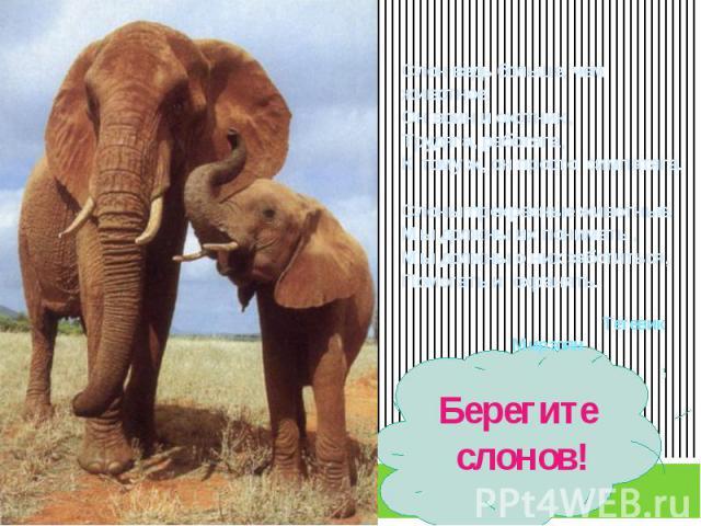 Слон ведь больше, чем животное.Он воин и охотник,Трудяга, работяга,К тому ж, он просто симпатяга.Слоны прекрасные животные.Мы должны их понимать ,Мы должны о них заботиться,Помогать и охранять. Тетевик МирзоянБерегите слонов!