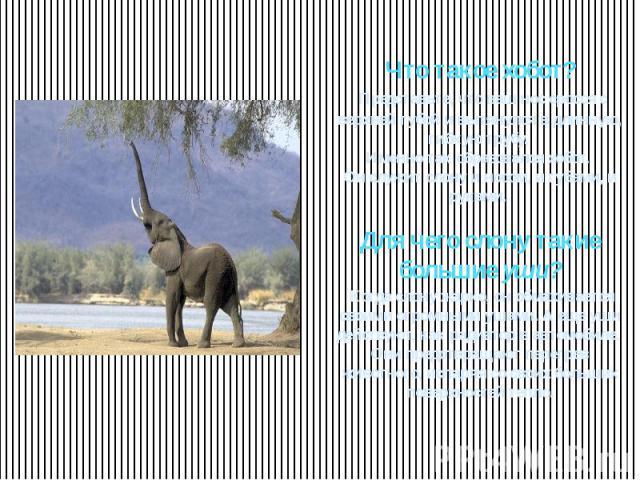 Что такое хобот? Представьте, что ваш нос сросся с верхней губой и вытянулся в длинную, гибкую трубу. Именно так образовался хобот. Он служит слону и носом, и губами, и руками. Для чего слону такие большие уши? Когда слону жарко, он обмахивается сво…