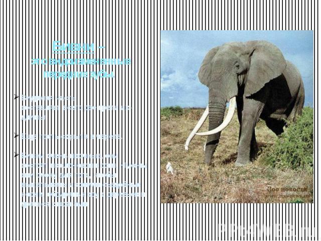 Бивни – это видоизмененные передние зубы. Видимая частьсоставляет всего две трети их- длины. Еще треть скрыта в черепе. Бивни очень прочные, они состоят из слоновой кости. Нужны они слону для того, чтобы выкапывать из земли съедобные корни, обдирать…