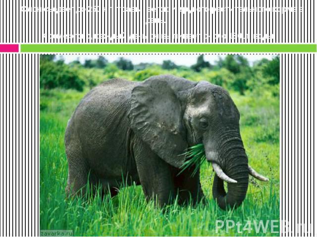 Слон съедает до 250 кг травы, веток и другого растительного корма в день. Кроме этого, каждый день он выпивает около 180 л воды