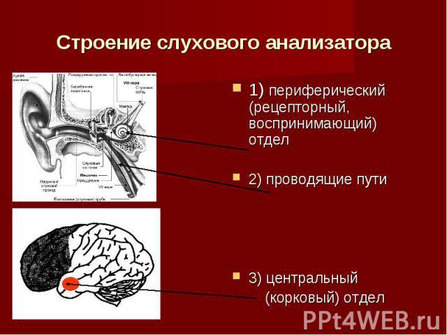 Строение слухового анализатора1) периферический (рецепторный, воспринимающий) отдел2) проводящие пути3) центральный (корковый) отдел
