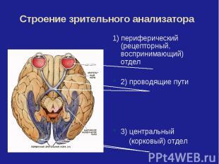 Строение зрительного анализатора1) периферический (рецепторный, воспринимающий)