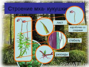 Строение мха- кукушкин лен
