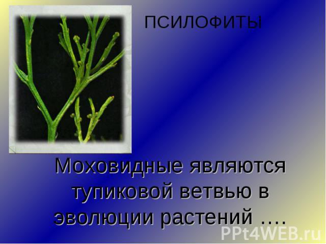 ПСИЛОФИТЫМоховидные являются тупиковой ветвью в эволюции растений ….