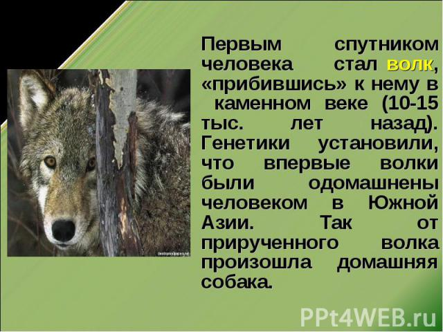 Первым спутником человека стал волк, «прибившись» к нему в каменном веке (10-15 тыс. лет назад). Генетики установили, что впервые волки были одомашнены человеком в Южной Азии. Так от прирученного волка произошла домашняя собака.