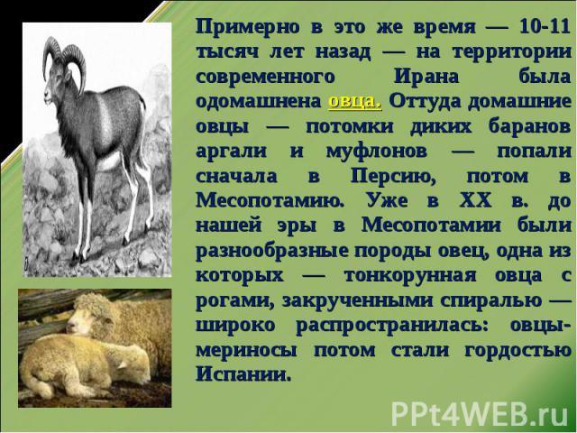 Примерно в это же время — 10-11 тысяч лет назад — на территории современного Ирана была одомашнена овца. Оттуда домашние овцы — потомки диких баранов аргали и муфлонов — попали сначала в Персию, потом в Месопотамию. Уже в ХХ в. до нашей эры в Месопо…