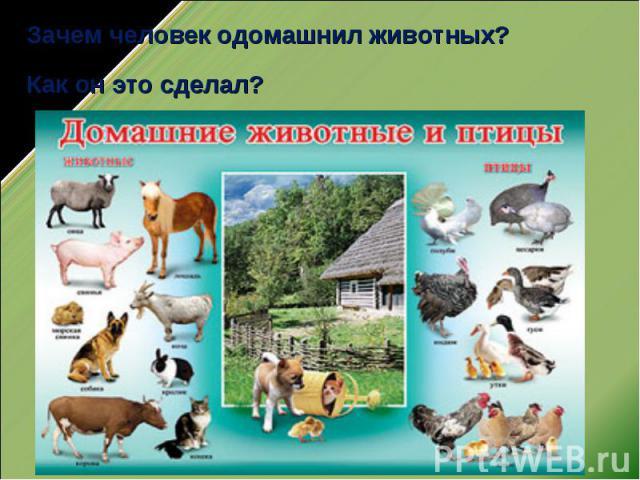Зачем человек одомашнил животных?Как он это сделал?