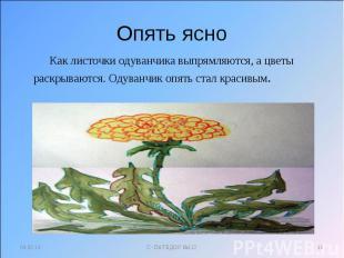 Опять ясно Как листочки одуванчика выпрямляются, а цветы раскрываются. Одуванчик