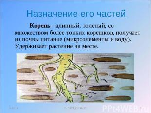 Назначение его частей Корень –длинный, толстый, со множеством более тонких кореш