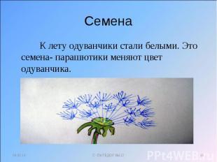 Семена К лету одуванчики стали белыми. Это семена- парашютики меняют цвет одуван