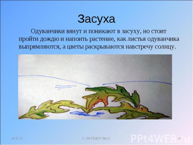 Засуха Одуванчики вянут и поникают в засуху, но стоит пройти дождю и напоить растение, как листья одуванчика выпрямляются, а цветы раскрываются навстречу солнцу.