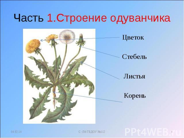 Часть 1.Строение одуванчика Цветок Стебель Листья Корень