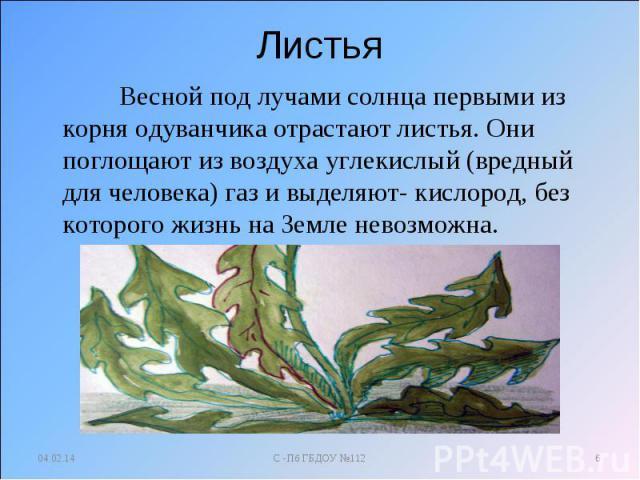 Листья Весной под лучами солнца первыми из корня одуванчика отрастают листья. Они поглощают из воздуха углекислый (вредный для человека) газ и выделяют- кислород, без которого жизнь на Земле невозможна.