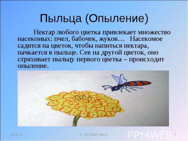Пыльца (Опыление) Нектар любого цветка привлекает множество насекомых: пчел, бабочек, жуков… Насекомое садится на цветок, чтобы напиться нектара, пачкается в пыльце. Сев на другой цветок, оно стряхивает пыльцу первого цветка – происходит опыление.
