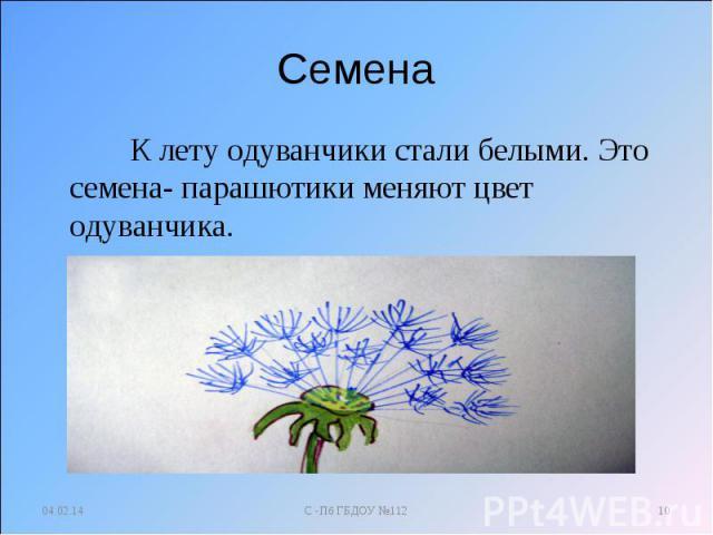 Семена К лету одуванчики стали белыми. Это семена- парашютики меняют цвет одуванчика.