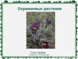 Охраняемые растенияСон-трава