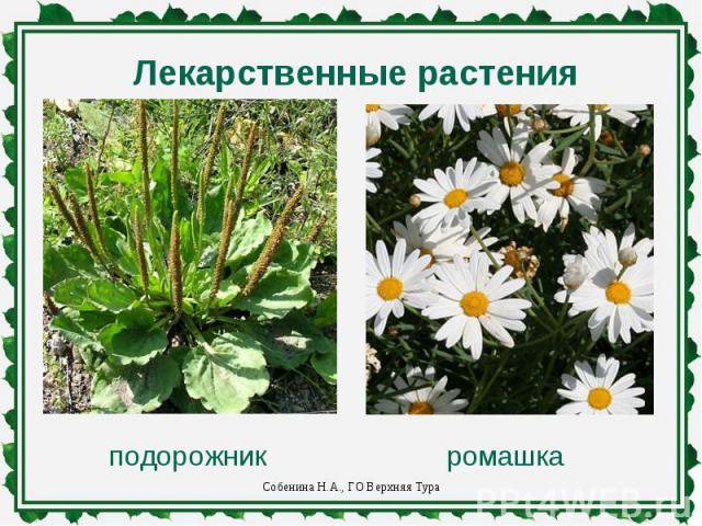 Лекарственные растенияподорожникромашка