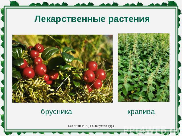 Лекарственные растениябрусникакрапива