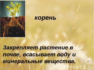 кореньЗакрепляет растение в почве, всасывает воду и минеральные вещества.
