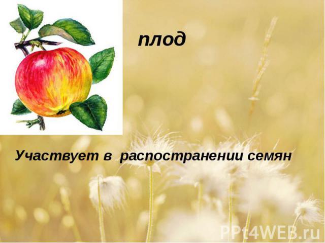 плодУчаствует в распостранении семян