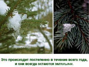 Это происходит постепенно в течение всего года,и они всегда остаются зелеными.