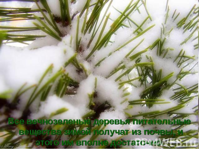 Все вечнозеленые деревья питательные вещества зимой получат из почвы, и этого им вполне достаточно.