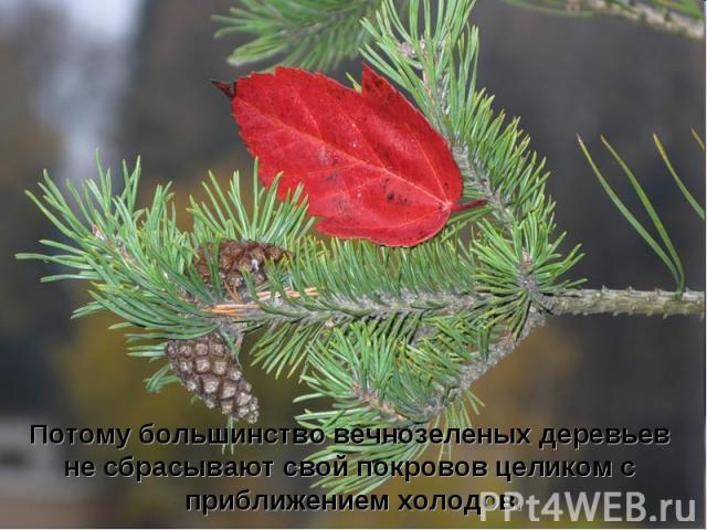 Потому большинство вечнозеленых деревьев не сбрасывают свой покровов целиком с приближением холодов.
