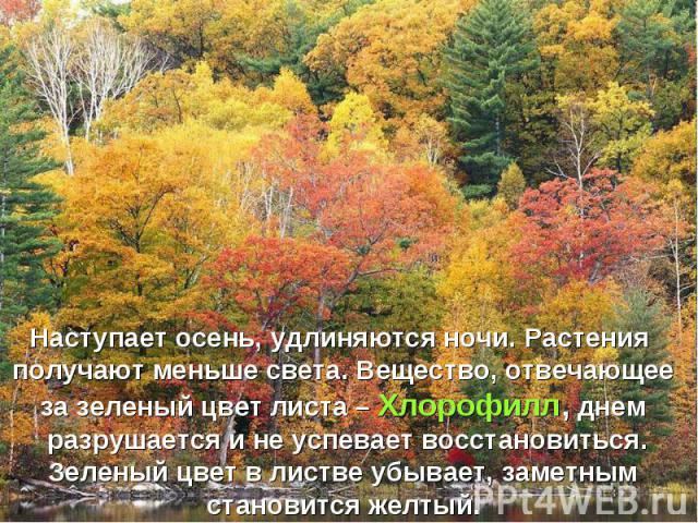 Наступает осень, удлиняются ночи. Растения получают меньше света. Вещество, отвечающее за зеленый цвет листа – Хлорофилл, днем разрушается и не успевает восстановиться. Зеленый цвет в листве убывает, заметным становится желтый.