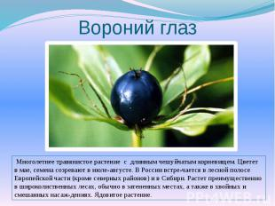 Вороний глаз Многолетнее травянистое растение с длинным чешуйчатым корневищем. Ц