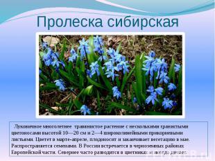 Пролеска сибирская Луковичное многолетнее травянистое растение с несколькими гра