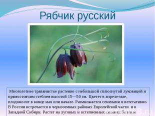Рябчик русский Многолетнее травянистое растение с небольшой сплюснутой луковицей