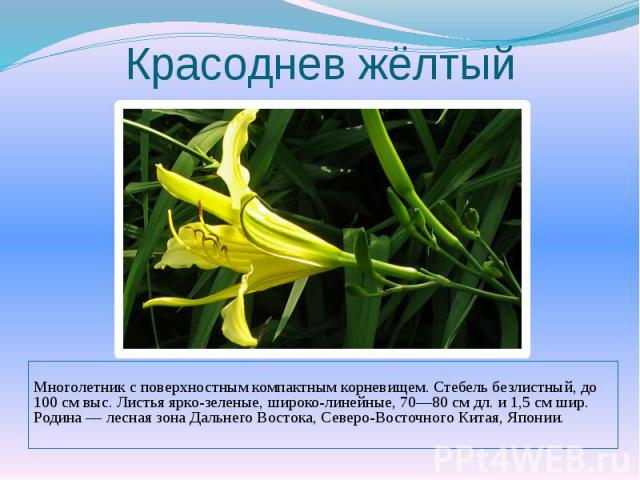 Красоднев жёлтыйМноголетник с поверхностным компактным корневищем. Стебель безлистный, до 100 см выс. Листья ярко-зеленые, широколинейные, 70—80 см дл. и 1,5 см шир. Родина — лесная зона Дальнего Востока, Северо-Восточного Китая, Японии.