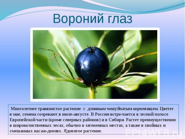 Вороний глаз Многолетнее травянистое растение с длинным чешуйчатым корневищем. Цветет в мае, семена созревают в июле-августе. В России встречается в лесной полосе Европейской части (кроме северных районов) и в Сибири. Растет преимущественно в широко…