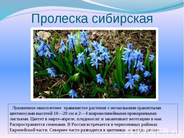 Пролеска сибирская Луковичное многолетнее травянистое растение с несколькими гранистыми цветоносами высотой 10—20 см и 2—4 широколинейными прикорневыми листьями. Цветет в марте-апреле, плодоносит и заканчивает вегетацию в мае. Распространяется семен…