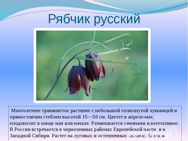 Рябчик русский Многолетнее травянистое растение с небольшой сплюснутой луковицей и прямостоячим стеблем высотой 15—50 см. Цветет в апреле-мае, плодоносит в конце мая или начале. Размножается семенами и вегетативно. В России встречается в черноземных…
