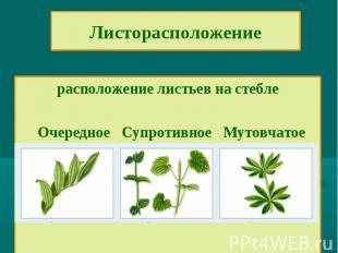 Листорасположениерасположение листьев на стебле Очередное Супротивное Мутовчатое