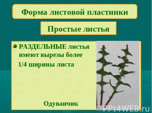 Форма листовой пластинкиПростые листьяРАЗДЕЛЬНЫЕ листьяимеют вырезы более 1/4 ши