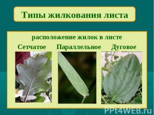 Типы жилкования листарасположение жилок в листеСетчатое Параллельное Дуговое