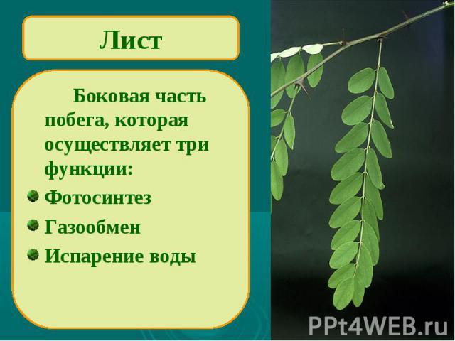 Лист Боковая часть побега, которая осуществляет три функции:ФотосинтезГазообменИспарение воды