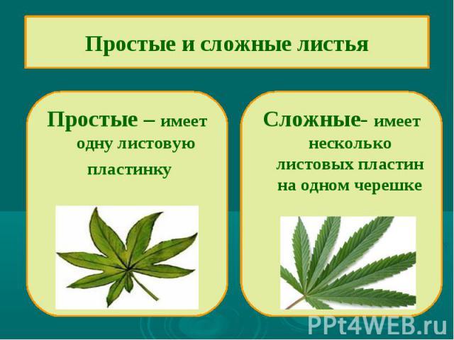 Простые и сложные листьяПростые – имеет одну листовую пластинку Сложные- имеет несколько листовых пластин на одном черешке